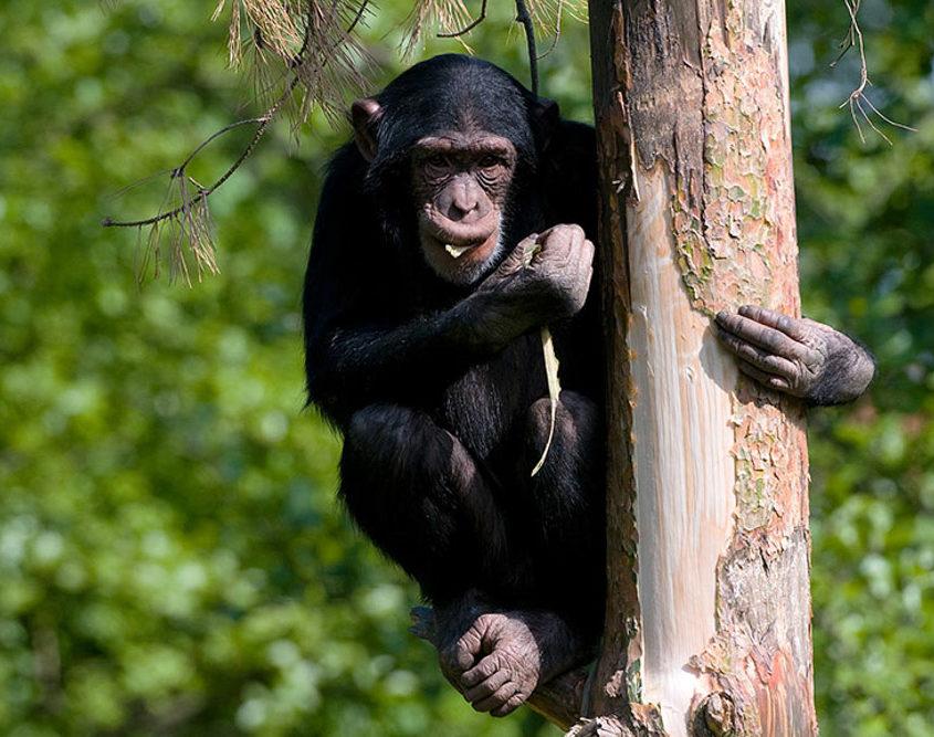 Chimpanse i træ