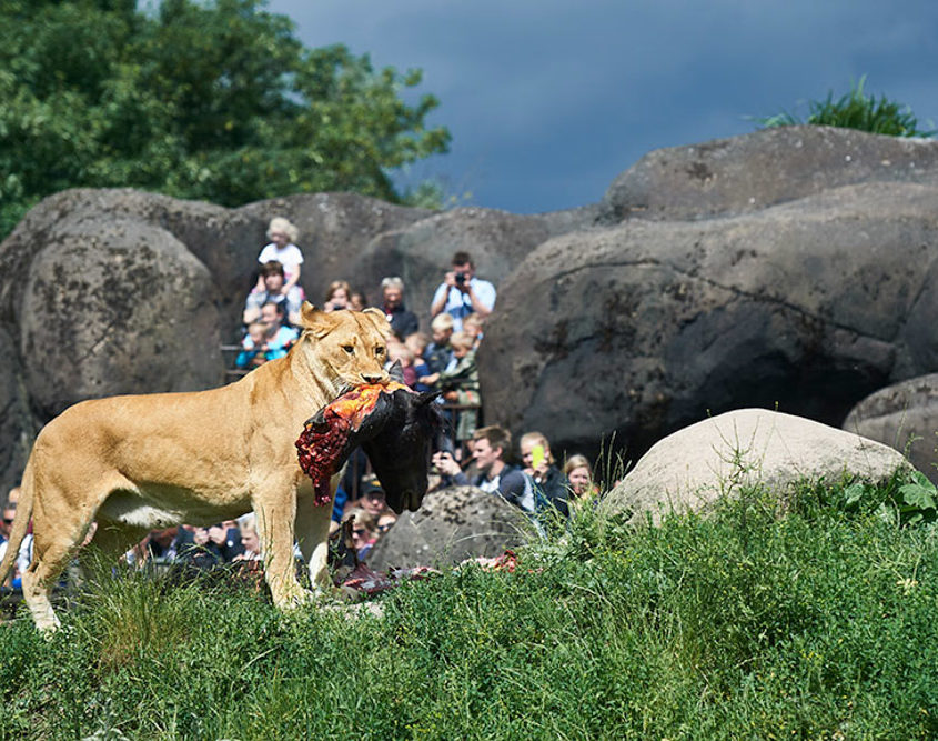 Løven spiser